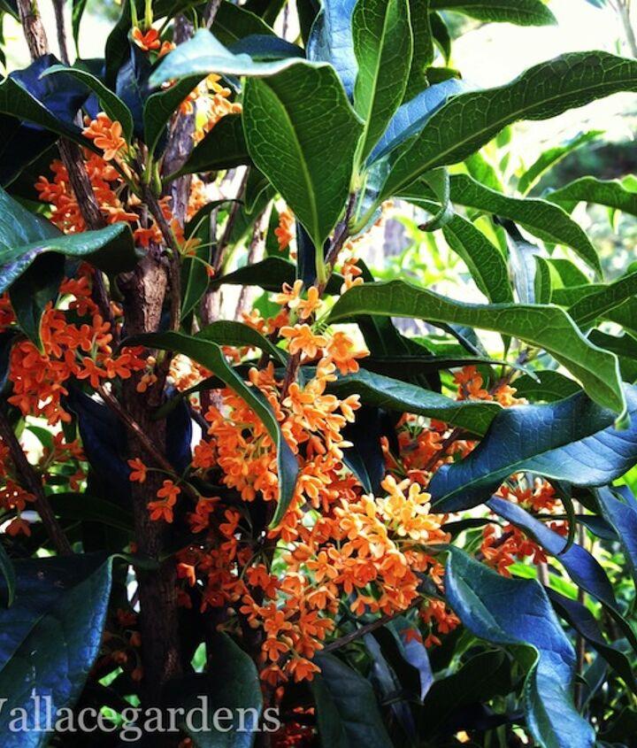 Osmanthus fragrans var. aurantiacus, the Tea Olive (or Sweet Olive), blooms in October.