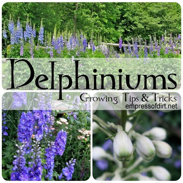 More tips: http://www.empressofdirt.net/delphiniums/