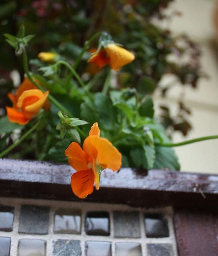 These bright orange violas will tolerate the cool weather of fall and contrast beautifully with the dark wood of the container. They also contrast nicely with the upright growth and burgundy foliage of the Japanese barberry.