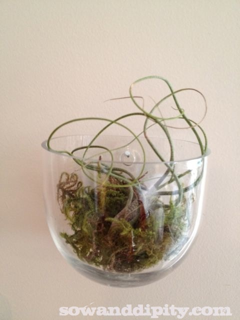 Mounted air plant wall sconce