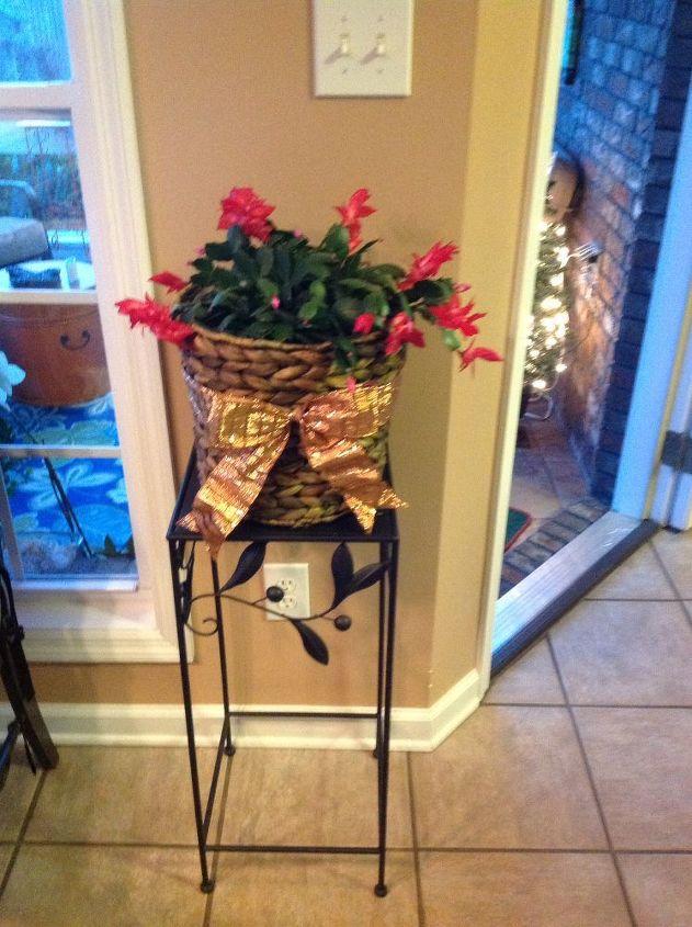 q my christmas cactus when should i repot, christmas decorations, gardening, seasonal holiday decor