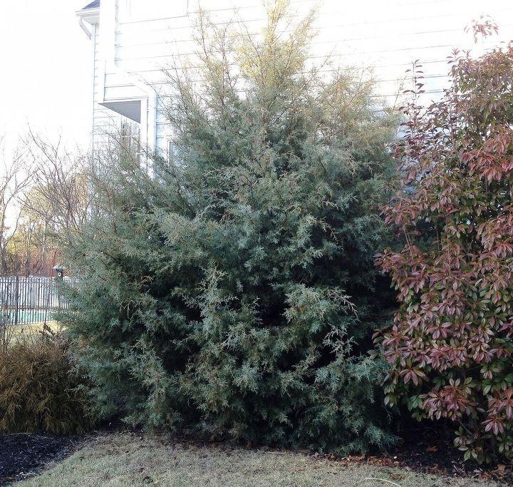 my tree is blocking the gas meter, gardening, landscape