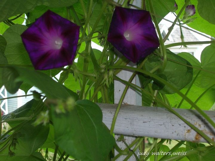 Morning Glory growing on the Potting Shed porch