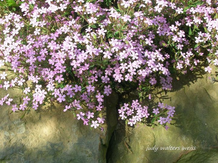 I love how the Soapwort spills out over the stone wall. A long time ago it was used to make a gentle cleaning lather ~ nature's soap!
