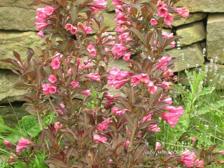 Weigela with it's pretty tubular trumpet shaped flowers