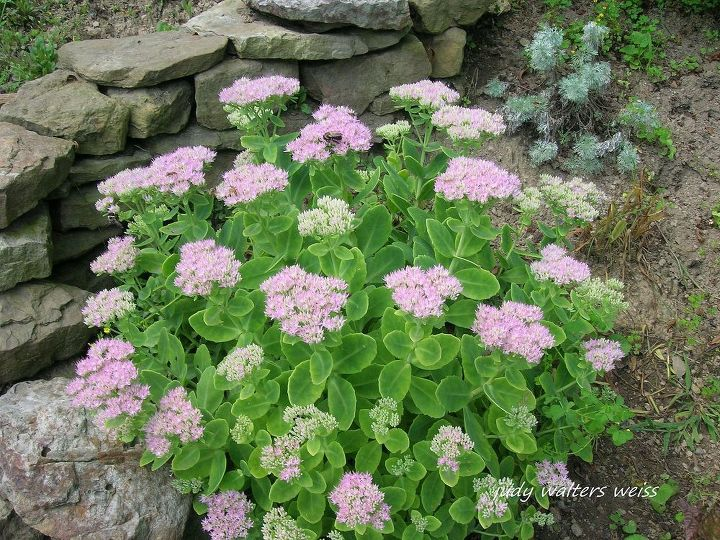 Love this Sedum ~ not only has pretty flowers but it's succulent leaves add interest to the garden