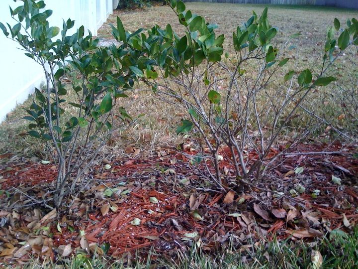 q i planted a hedge wall of legustrum in my yard in aug 2010 the lower part of the, gardening, landscape