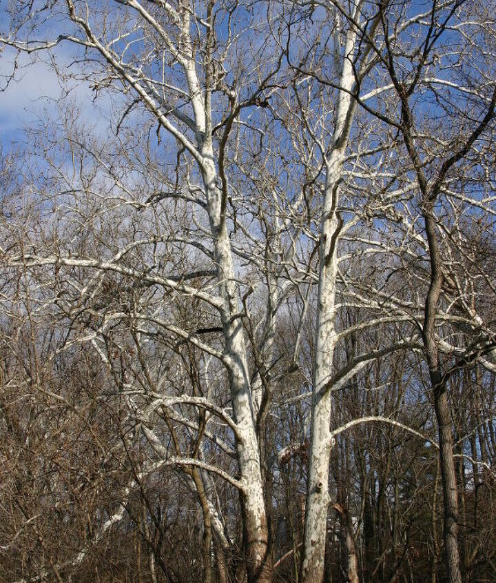 bare trees in winter i love the sycamores that i see from my mother s house in, gardening