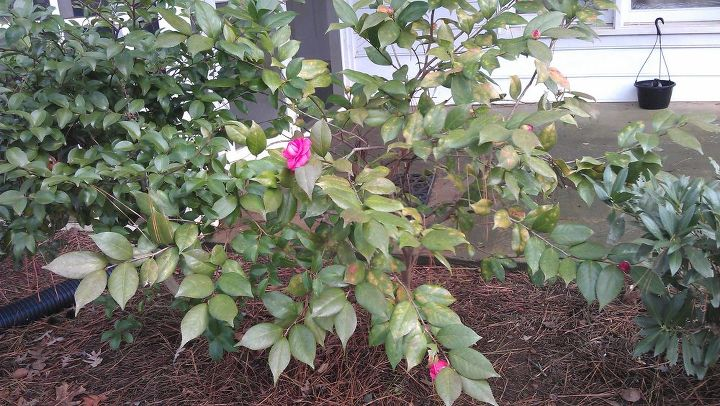 my camelias are blooming they aren t supposed to bloom yet are they i even have, gardening