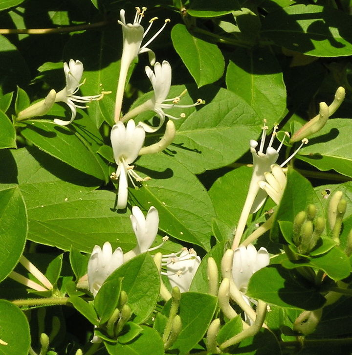 Lonicera japonica, classified as a noxious weed in Illinois, Texas and Virginia and banned in New Hampshire