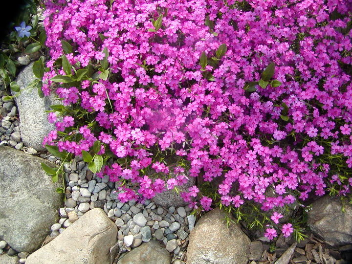Low growing creeping phlox grows well in the pea gravel and adds a pop of spring color.