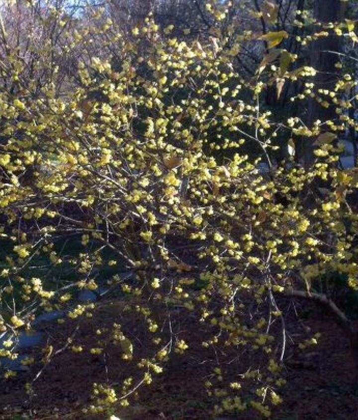 my favorite cold weather fragance is the wintersweet chimonanthus praecox var, gardening