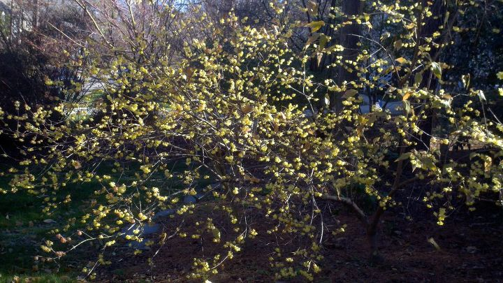 my favorite cold weather fragance is the wintersweet chimonanthus praecox var, gardening