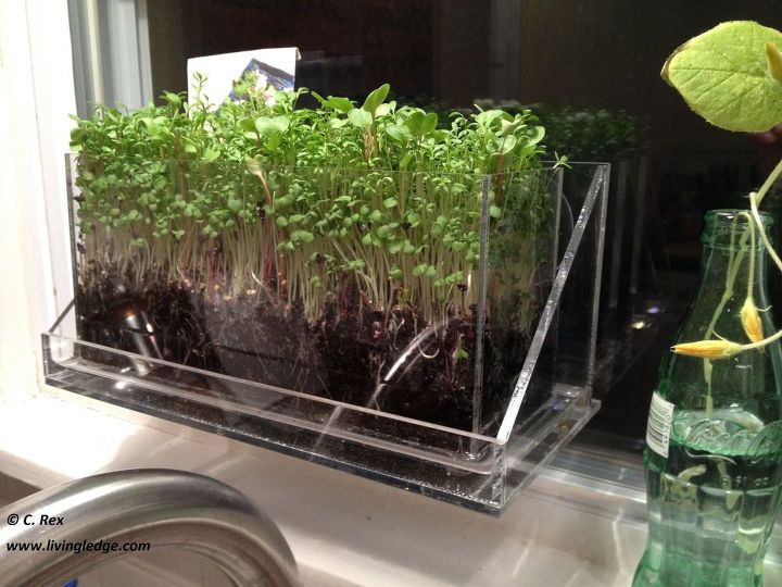 teach your kids to grow what they eat sustainable window farming, gardening, homesteading, urban living, Growing Microgreens in Living Ledge for my eldest daughter Chelsea s 20th birthday celebration for our family