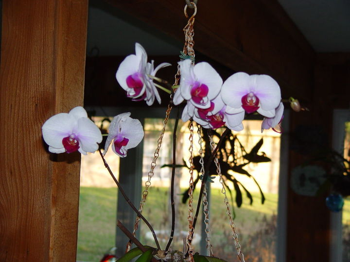 q orchid blooming in january, flowers, gardening, January 2012 in the house