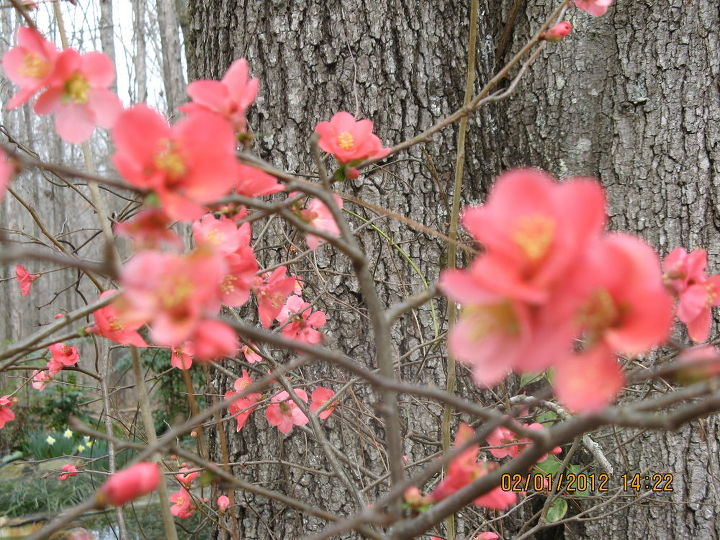 enjoy our quince in bloom, gardening