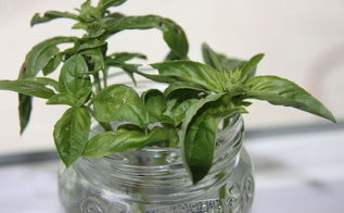 how to grow basil from cuttings, gardening