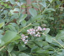 plant an edible hedge of blueberries, gardening