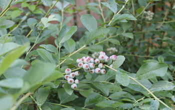 Plant an Edible Hedge of Blueberries