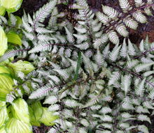 a must have in the shade garden the japanese painted fern, flowers, gardening