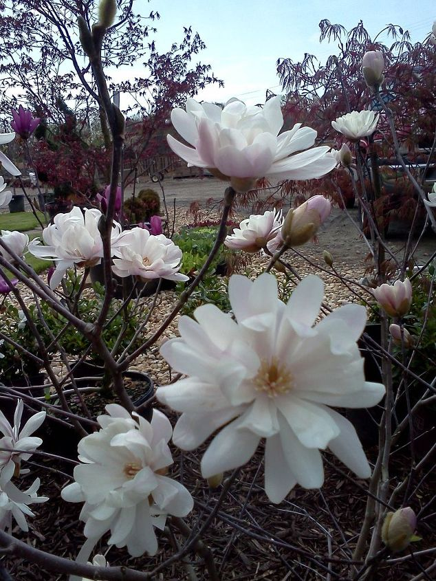 plants that winked at me today in the nursery, flowers, gardening, Magnolia Water Lily