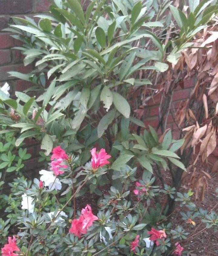 It's the taller one behind the azalea