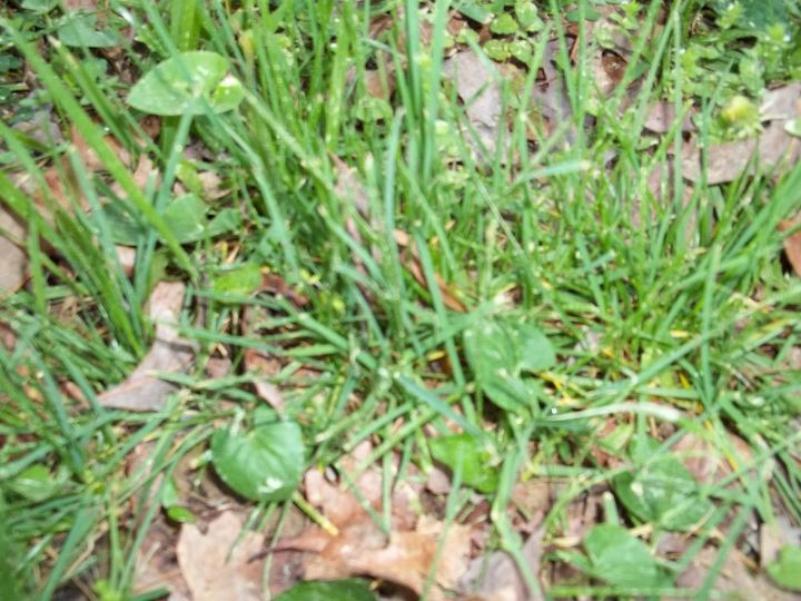 q grass id and what to do with the weeds, gardening, landscape, Grass close up what kind is this
