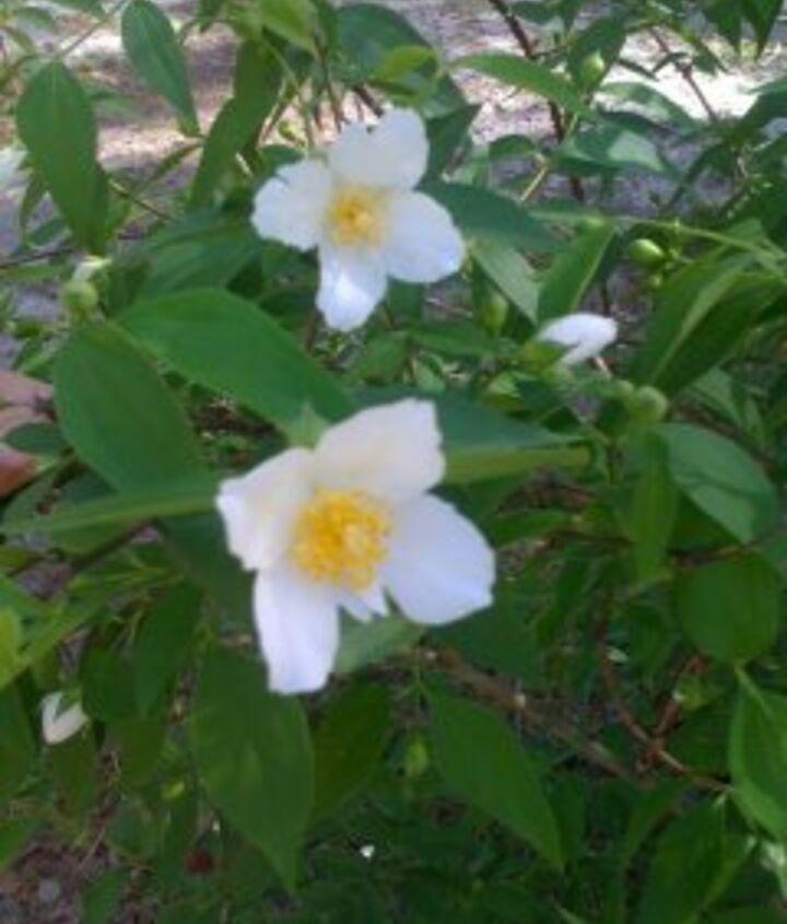 mystery shrub, gardening