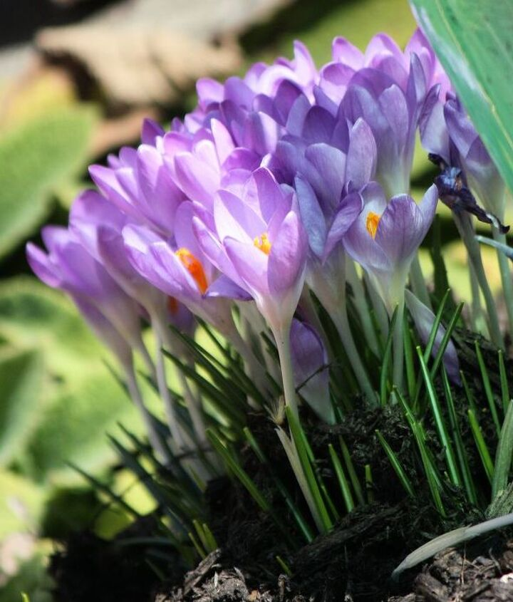 Crocus is a genus in the iris family comprising about 80 species of perennials growing from corms.