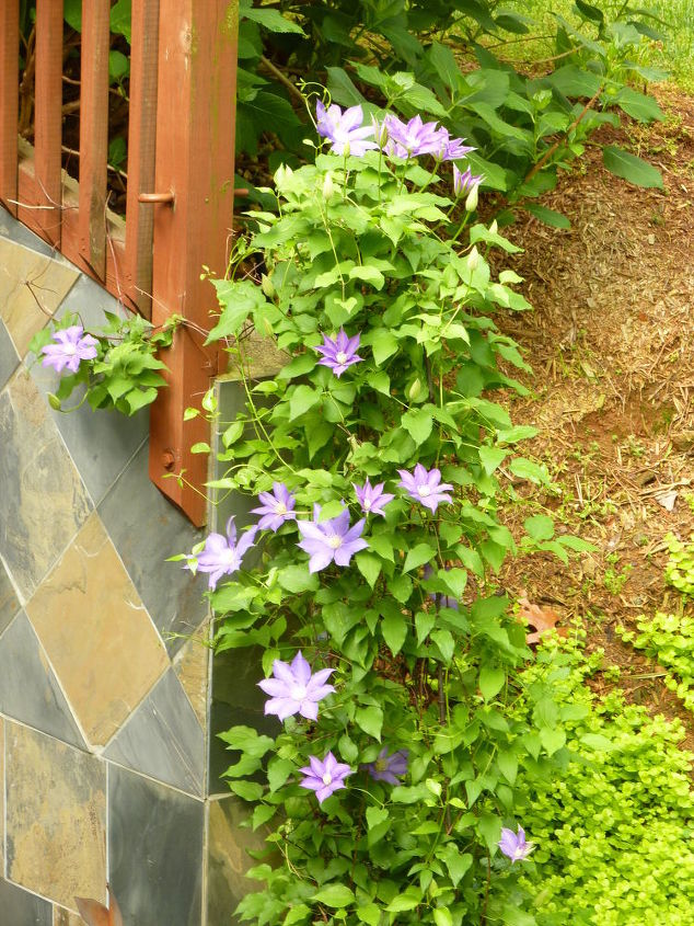 Purple Clematis! On April 9th
