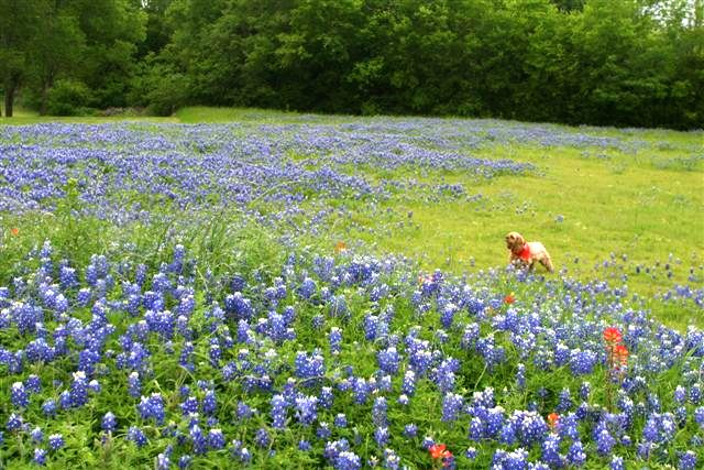 q texas bluebells beautiful, flowers, gardening, Beautiful