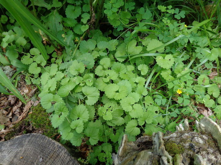 Invasive runner plant? What is it? Plant ID?