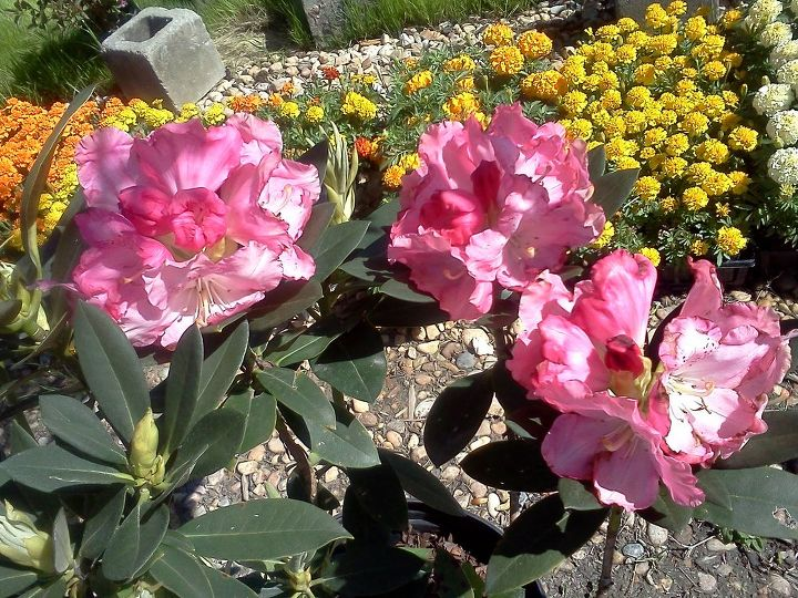 rainy day cheer flowers, flowers, gardening, Rhododendron Ingrid Mehlquist