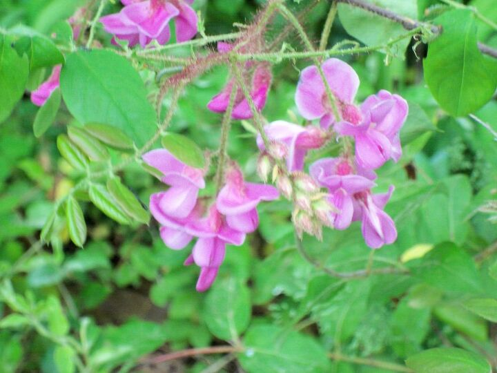 what is this flower, flowers, gardening, Is this Bleeding Heart Sweet Pea Locust or a gorgeous weed