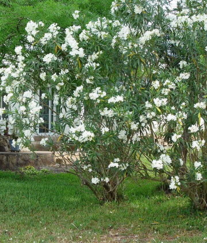 q oleander blooming, flowers, gardening