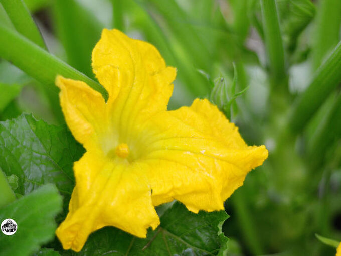 how to get rid of squash bugs squash vine borers, flowers, gardening, pest control