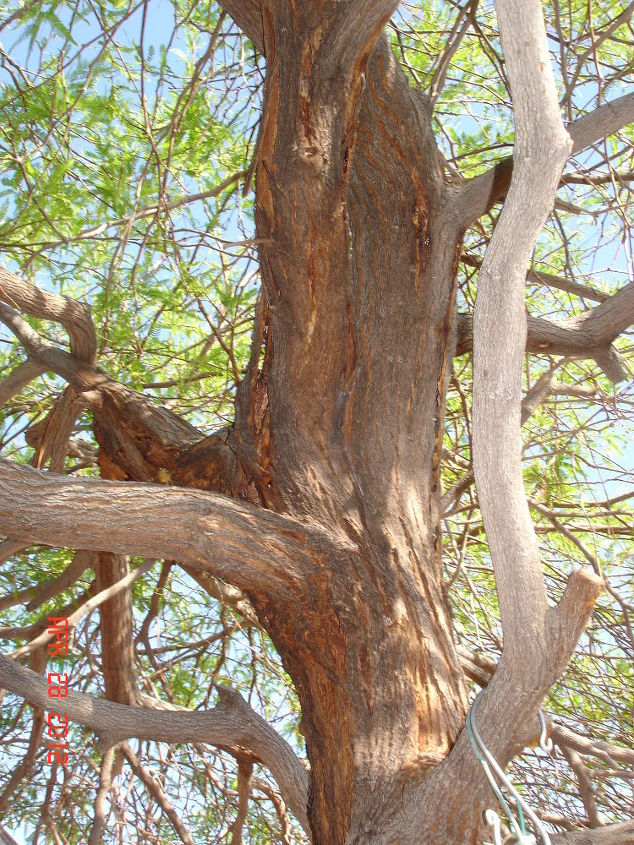 can my mesquite tree be save by borers that are attacking it, landscape, pest control