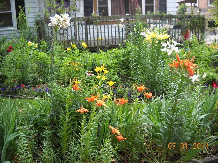 lilies in bloom in zone 5, gardening, Lilies in bloom