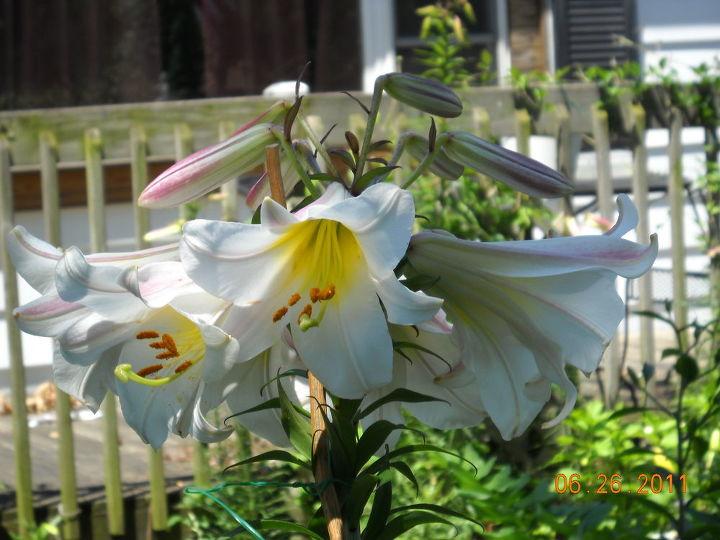 a regal lily, gardening, a regal lily loves sandy soils