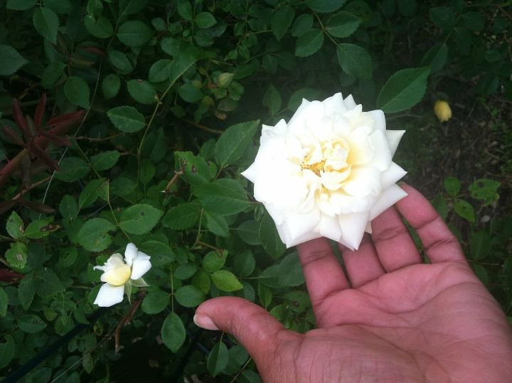 q can anyone tell me the name of this rose i know it s a climber is long lived amp, gardening, Mystery Rose 1