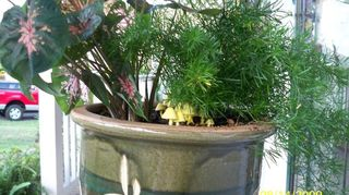 q i ve never seen a yellow mushroom before is it detrimental to my plant or o k to, gardening, Yellow Myshrooms that popped up in pot that I d planted cladiums asparagus fern in