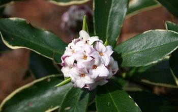 fragrance in the garden, gardening, daphne