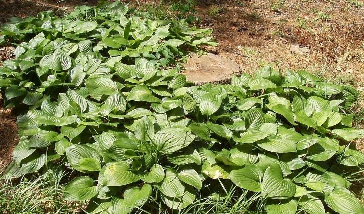 q what s happening to my hostas some are perfect but those are ones that have been, gardening
