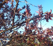 q what s wrong with my flowering purple plum tree and what can i do about it now, flowers, gardening, landscape, Knarled crusted split branches