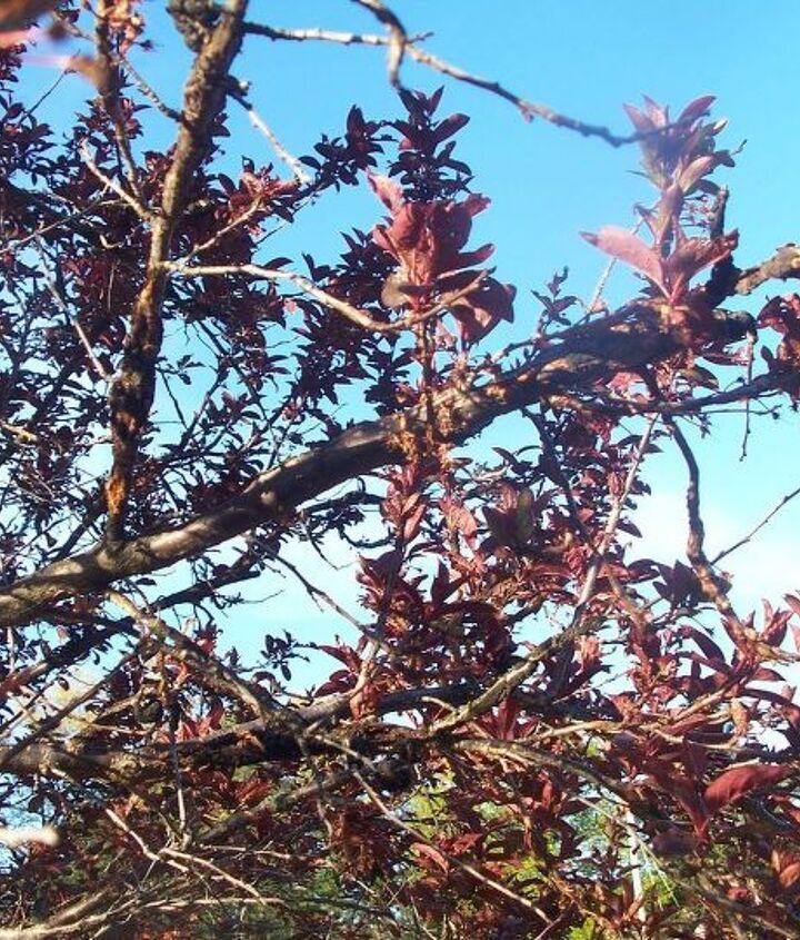 Knarled crusted split branches