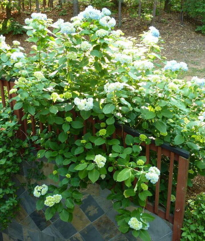 the hydrangea bush