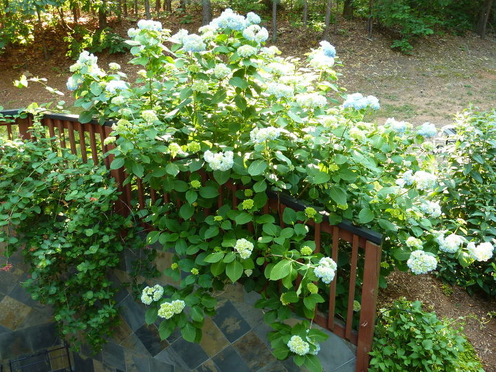 the hydrangea bush