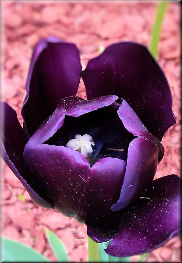 Deep purple Tulip very unique and elegant !