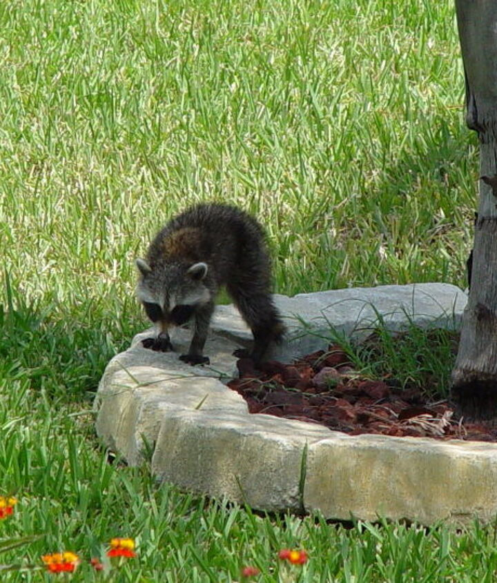 Oh look one racoon