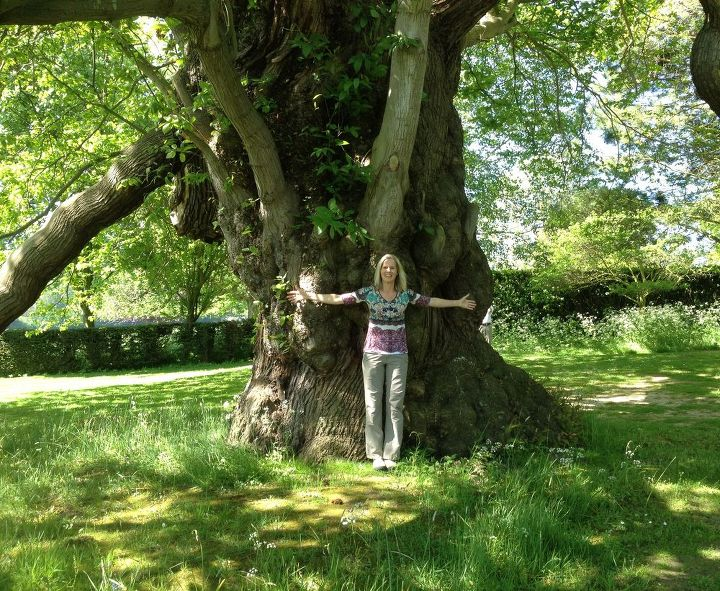 a four hundred year old chestnut tree in england, gardening, 400 year old chestnut tree at Goodnestone Garden in England